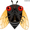 Cicada graphic courtesy cicadamania.com