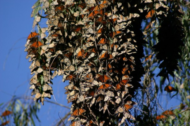 Monarch butterflies wintering over in the trees of Mexico. Photo credit: Maggie Caldwell