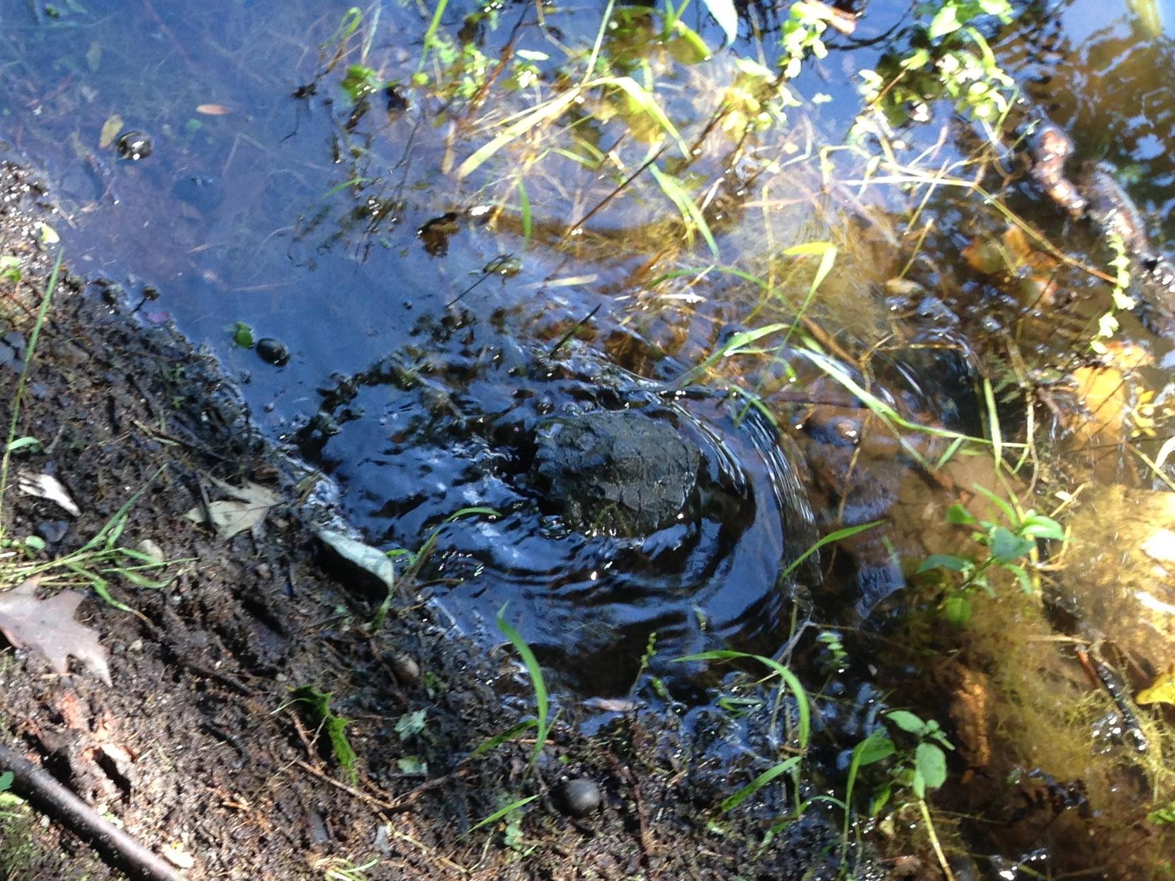 backyard wildlife more turtle stuff tumblehome learning science