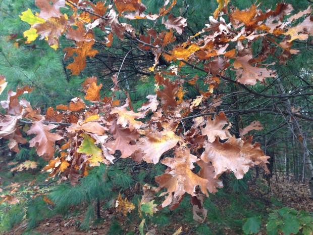 Oak leaves can hang on until spring.