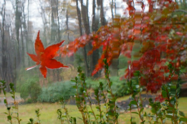 Japanese maples are among the last to lose their leaves