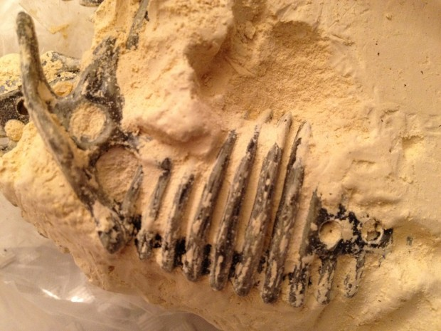 Fossil Ribcage in Excavation Kit