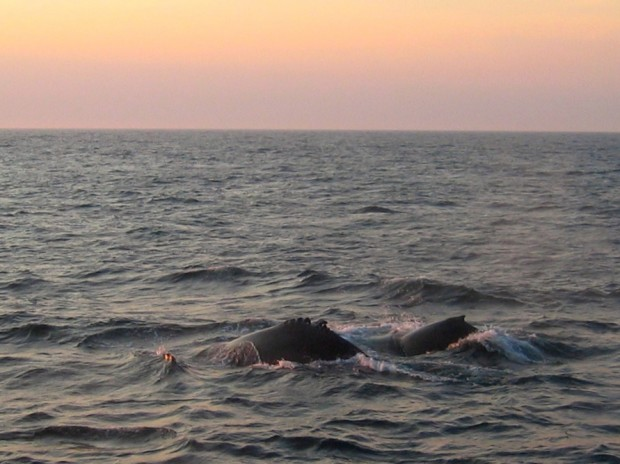 A pair of humpback whales at sunset off the coast of New England