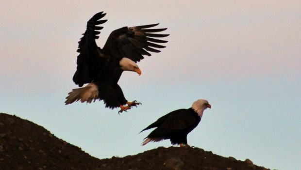 Eagles are notorious carnivores Photo credit: Russ Campbell