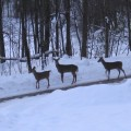 2008 01 04 Deer parade - Version 2