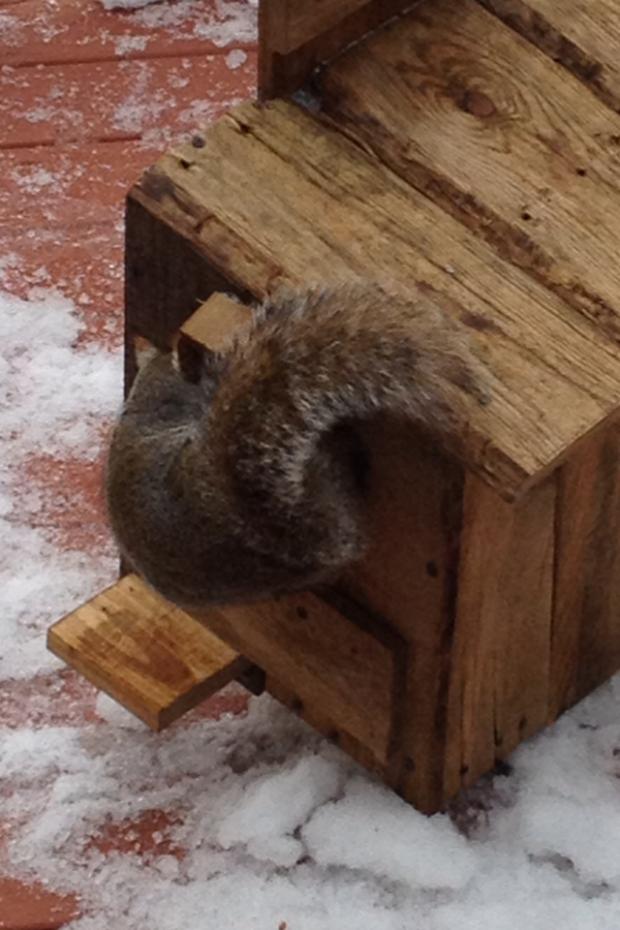 Squirrel entering home
