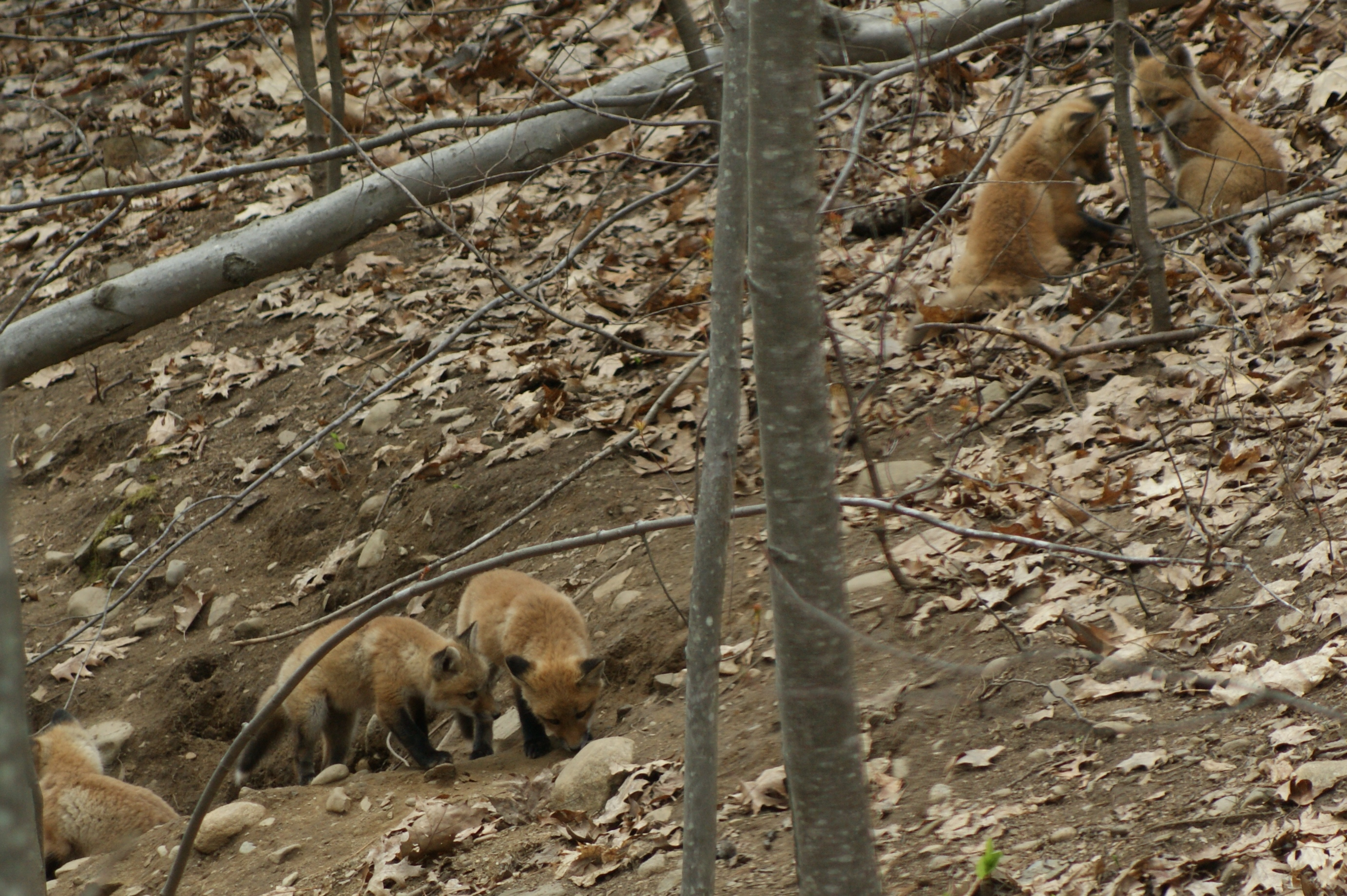 backyard wild life photo essay fox family tumblehome learning the kits play near the den s entrance when their parents are out of sight
