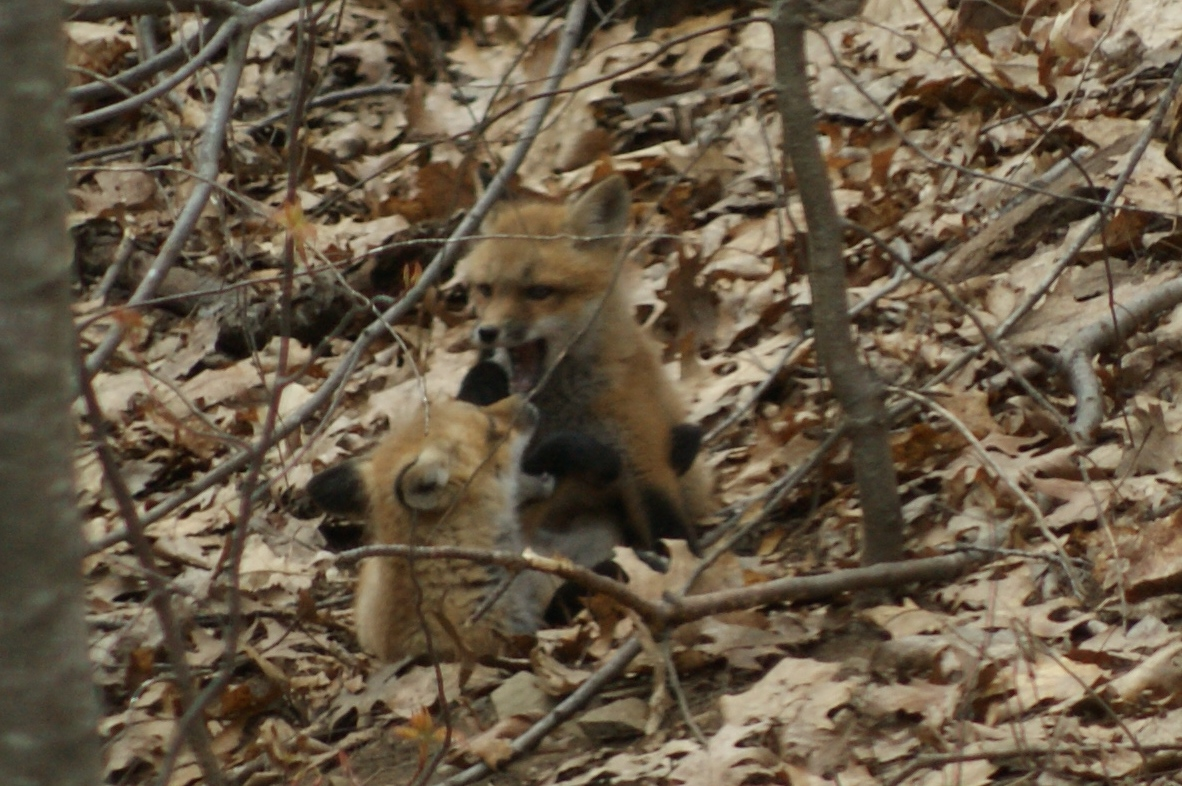 backyard wild life photo essay fox family tumblehome learning they bother each other