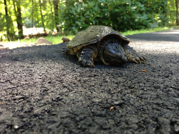 A young (about 8 years old) Common Snapping Turtle