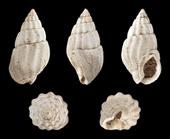wikimedia fossil shells